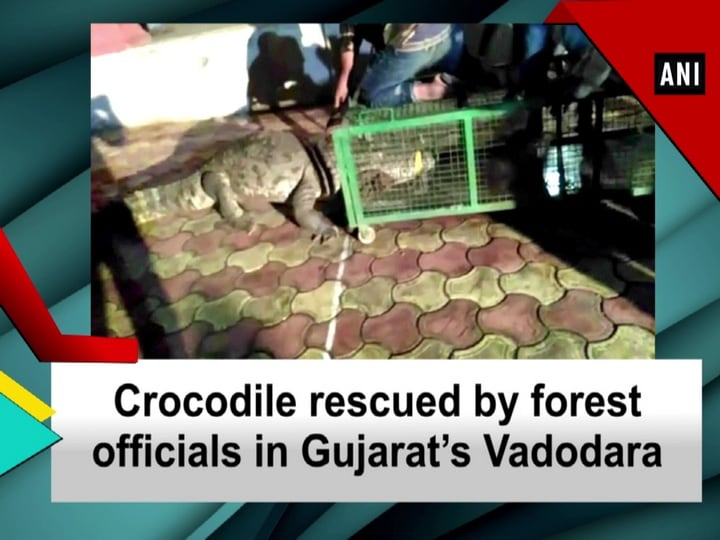 Crocodile rescued by forest officials in Gujarat's Vadodara