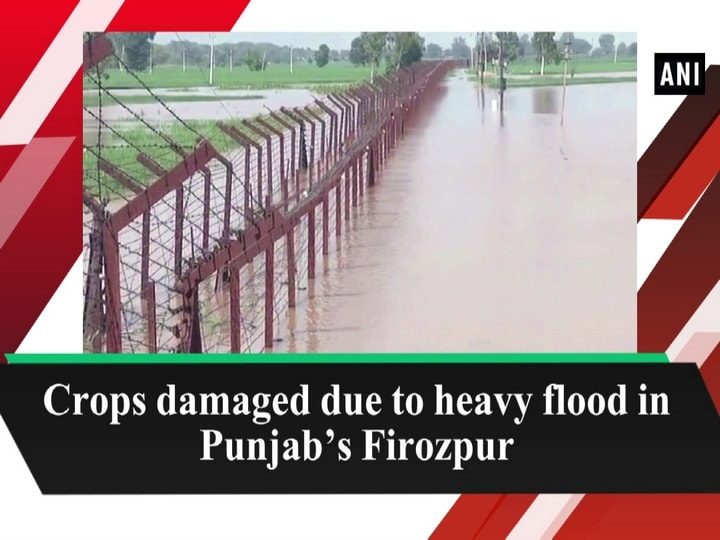 Crops damaged due to heavy flood in Punjab's Firozpur