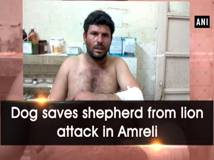 Dog saves shepherd from lion attack in Amreli