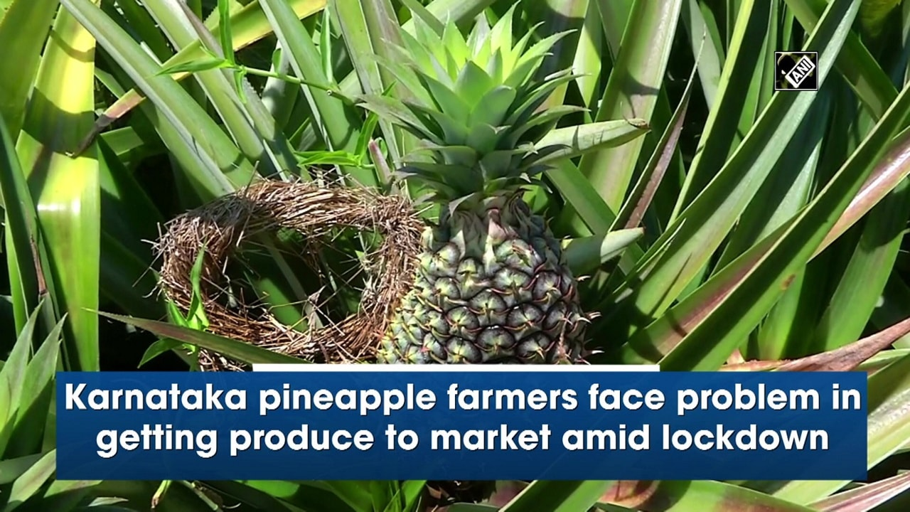 Karnataka pineapple farmers face problem in getting produce to market amid lockdown