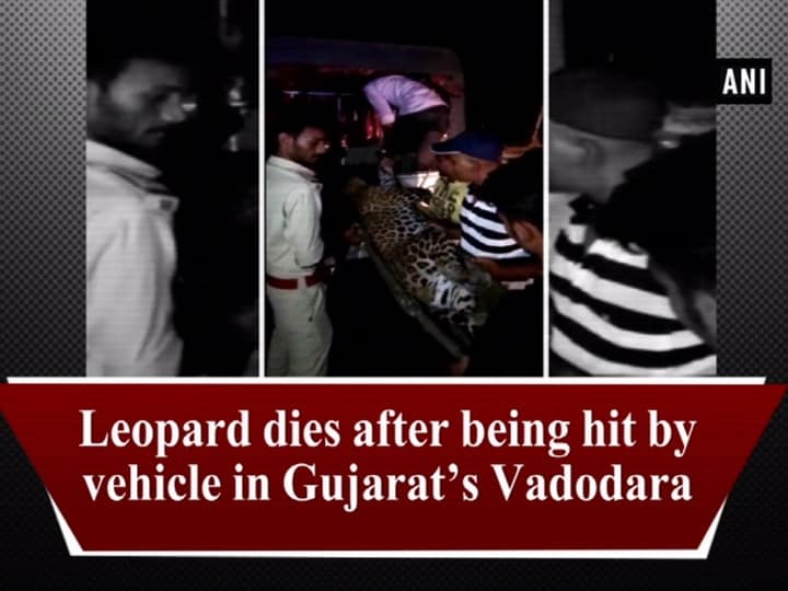 Leopard dies after being hit by vehicle in Gujarats Vadodara