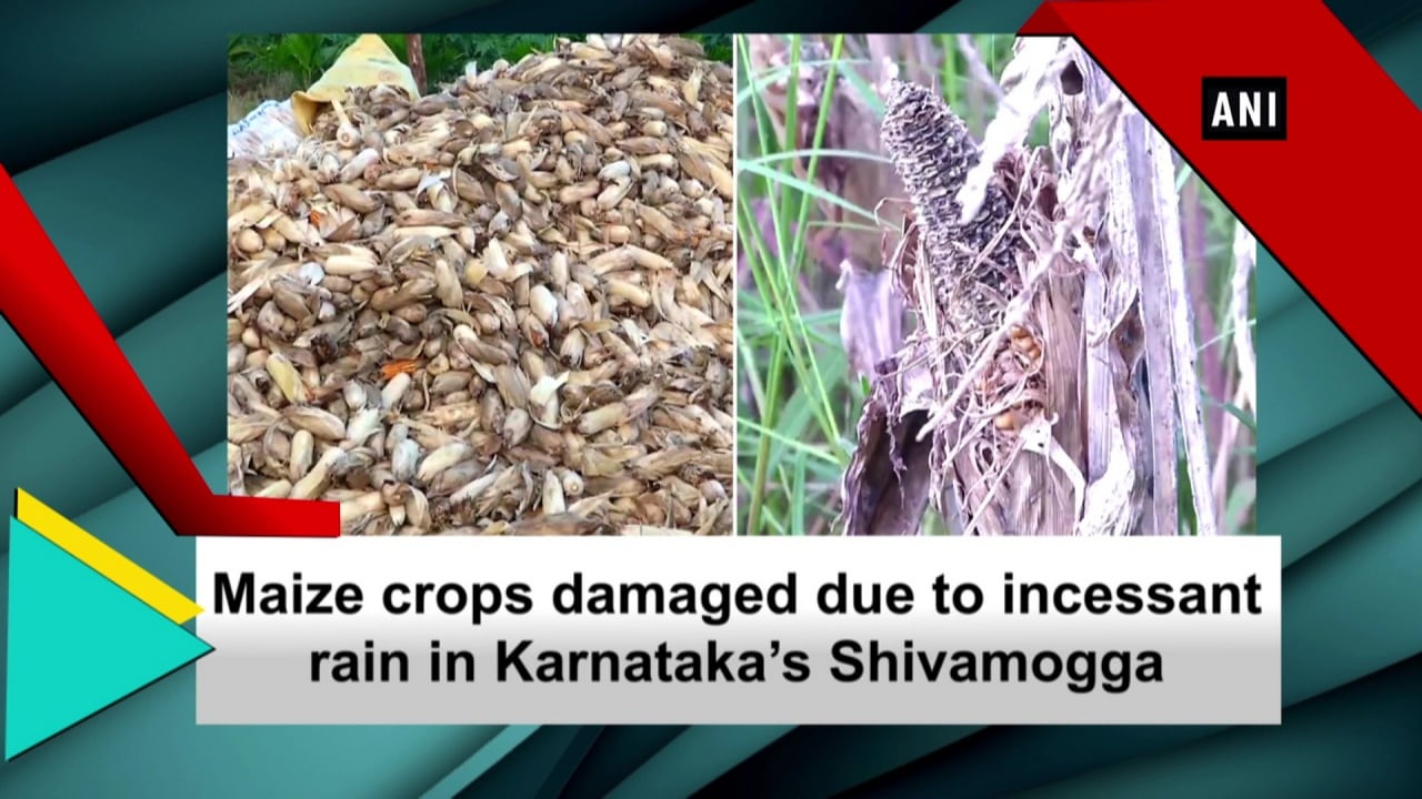 Maize crops damaged due to incessant rain in Karnataka's Shivamogga