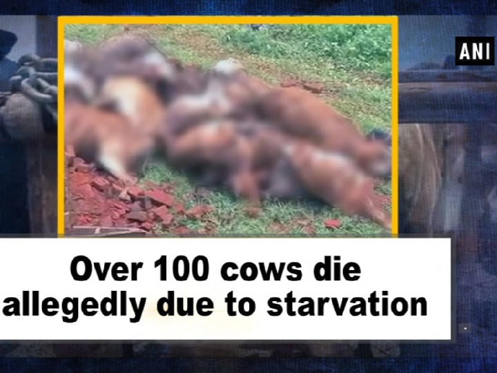 Over 100 cows die allegedly due to starvation