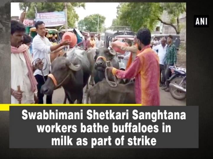 Swabhimani Shetkari Sanghtana workers bathe buffaloes in milk as part of strike