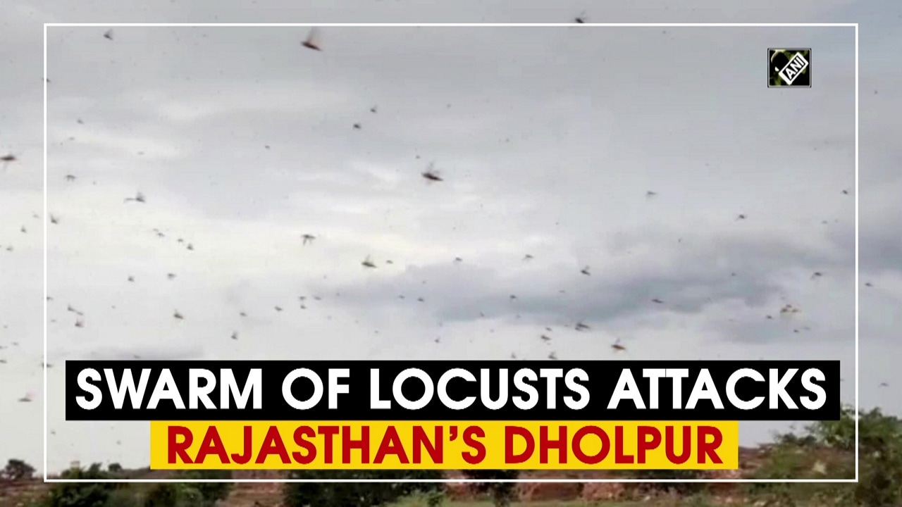 Swarm of locusts attacks Rajasthan's Dholpur