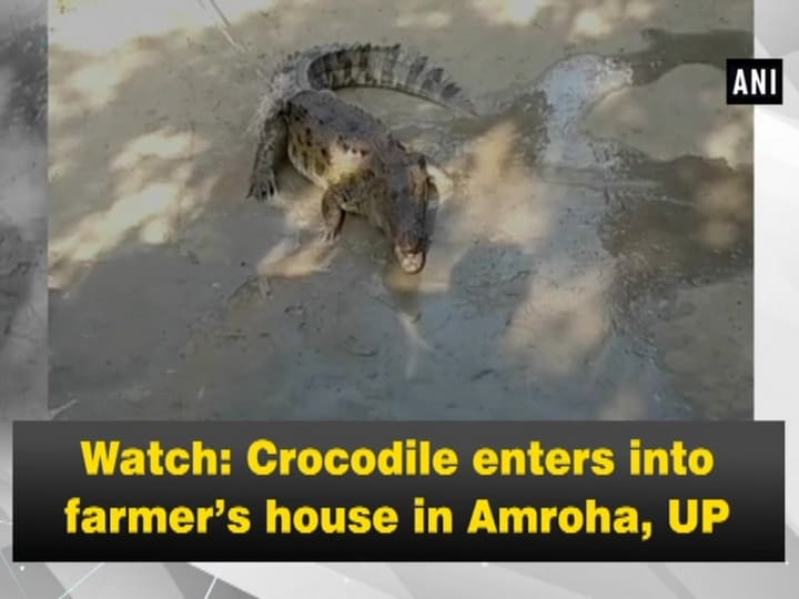 Watch: Crocodile enters into farmer's house in Amroha, UP