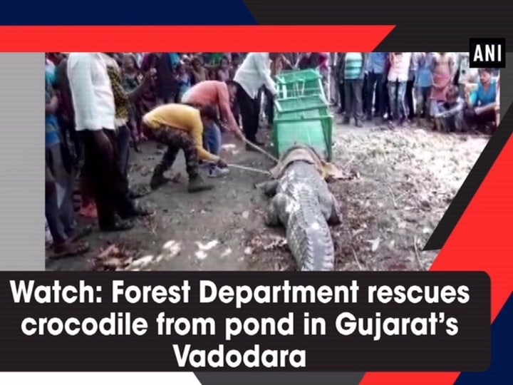 Watch: Forest Department rescues crocodile from pond in Gujarat's Vadodara
