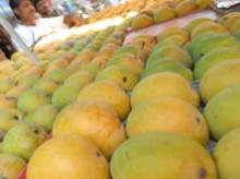 Supply of quality Kesar mango falls due to unfavorable weather, water scarcity