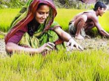 Centre sees nine times jump in paddy procurement in Punjab in 13 days