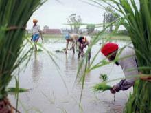 Fresh showers prevent severe drought in Chhatisgarh