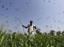 A farmer sprays a mixture of fertilizer and pesticide onto his wheat crop on the outskirts of Ahmedabad