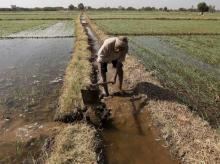 A farmer channels water to irrigate his wheat field on the outskirts of Ahmedabad. Photo: Reuters