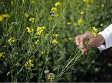 An Indian scientist holds a genetically modified (GM) rapeseed crop under trial in New Delhi (pic: Reuters)