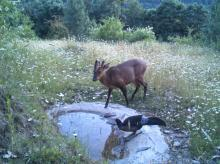Barking deer and Kaleej pheasant at Jabarkhet Nature Reserve