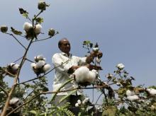 A farmer harvests cotton in his field at Rangpurda village in Gujarat