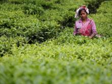 A tea garden worker plucks tea leaves inside a tea estate in India. Photo: Reuters