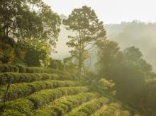 tea, plantation, workers, tea garden
