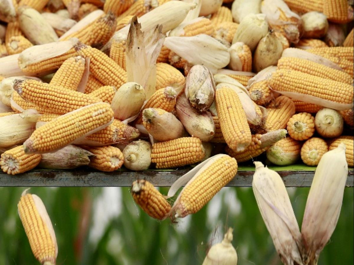 Despite high price and demand, farmers not interested in maize