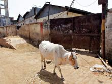 A cow walks past a closed slaughterhouse in Allahabad, India. Photo: Reuters