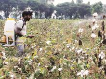 Farmers worried as cotton yield may be hit this year due to poor rains