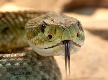 Snake, snake venom