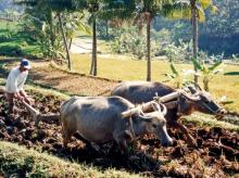 cow, cattle, buffalo, farmers, agriculture