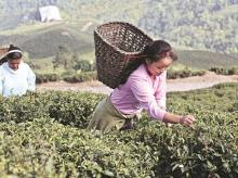 Darjeeling tea gardens, Darjeeling tea