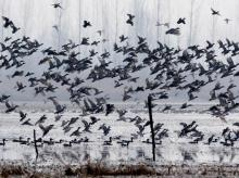 Migratory birds flying over the Hokersar wetland located on the outskirts of Srinagar. File Photo: PTI