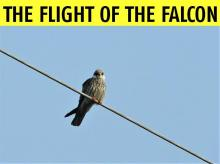 Nature's great spectacles: Spotting Amur falcons in Nagaland's forest