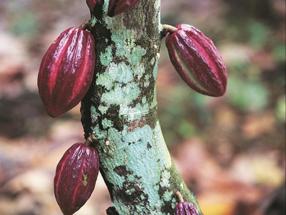 Companies cry foul over cocoa powder import from Asean countries