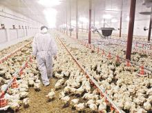 Saudi Arabia suspends poultry imports from India amid bird flu in Karnataka