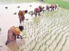 Farmers' shift to safer paddy, sugarcane from riskier crops to boost income