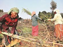 From the 2018-19 sugarcane season starting October, the Centre not only increased the base recovery rate from 9.5 to 10 per cent, but also raised the premium extra yield in sugar from Rs 2.68 per quintal to Rs 2.75 a quintal