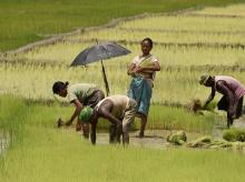 Farm labourers making bunches of paddy saplings to plant at a field on the outskirts of Guwahati | Photo: PTI