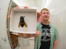 wallace's bee