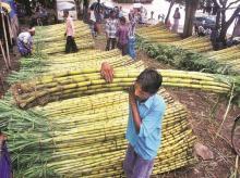Sugar, sugarcane