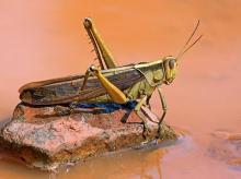Locust, Pest, insect