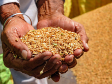A farmer shows wheat grains after threshing at a field. Photo: PTI