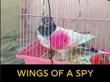pigeon, india-pakistan border