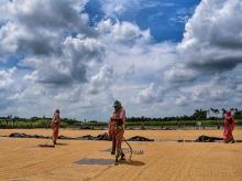 farmers, rice, agriculture, farming