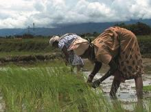 Paddy, farmers, agriculture, monsoon