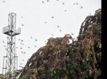 Locust, Agra